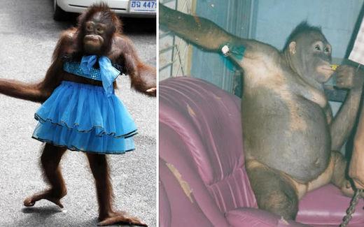 orangutanes esclavas sexuales