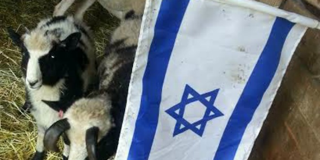 jacob-sheep-with-flag-cropped